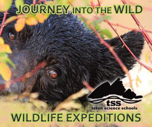 Wildlife Expeditions: Amazing Adventures - With experienced professional biologists and educators as your guides, its no wonder these wildlife expeditions in the Jackson Hole area have been nationally acclaimed.