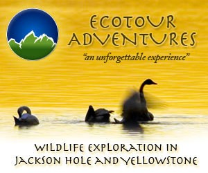 EcoTour Adventures : Jackson Hole Wildlife Tours Jackson Hole Eco Tour Adventures offers a variety of wildlife viewing in the Jackson Hole, Grand Teton, and Yellowstone Ecosystems. Eco Tour Adventures focuses on creating a sustainable touring business to help protect the wild nature of our environment.