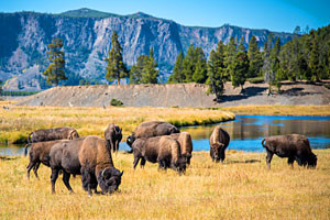 Yellowstone & Grand Teton Tours and Trips