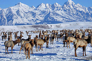 Elk Sleigh Refuge Rides