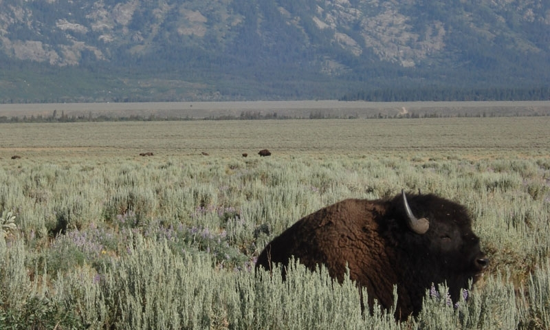 Bison sitting by Antelope Flats Road beneath the Grand Tetons