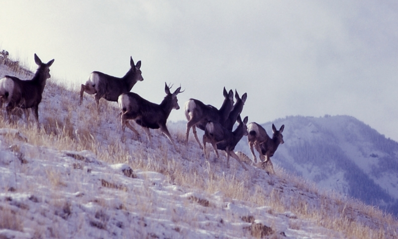 Mule Deer Wildlife