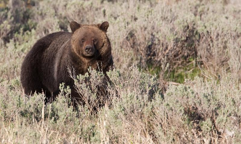 Bear Grizzly Wildlife