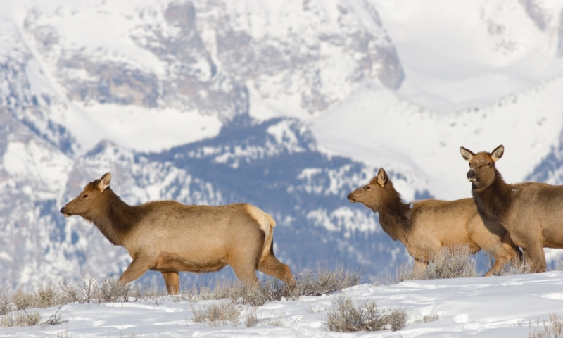 Elk Wildlife Grand Teton National Park Winter